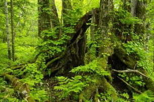 浜中町火散布 新緑の道有林保護林 カツラの大木の写真素材 [FYI04764721]