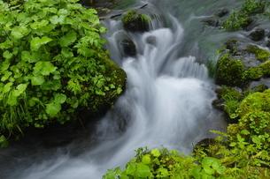 知床 新緑の羅臼川沿いの森の写真素材 [FYI04764730]