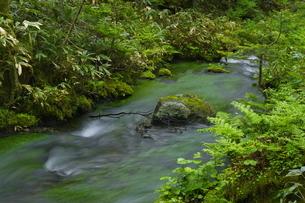 知床 新緑の羅臼川沿いの森の写真素材 [FYI04764733]