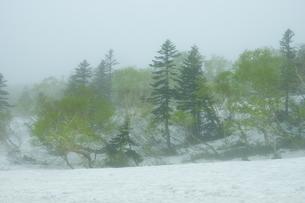羅臼湖付近の新緑と残雪の森の写真素材 [FYI04764746]