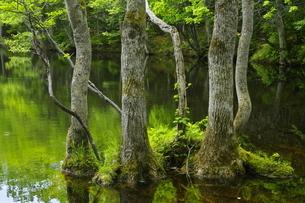 知床林道沿いの新緑の森の写真素材 [FYI04764748]