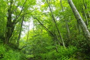 ウペペサンケ山麓 初夏の糠平川源流の森の写真素材 [FYI04764823]