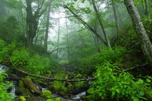 ウペペサンケ山麓 初夏の糠平川源流の森の写真素材 [FYI04764828]