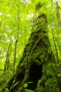猿留川沿いの森 苔を纏った大木の写真素材 [FYI04764829]