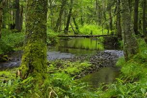 然別湖付近 初夏の森を流れる小川の写真素材 [FYI04764873]