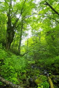 ウペペサンケ山麓 初夏の糠平川源流の森の写真素材 [FYI04764874]