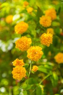山吹の花 の写真素材 [FYI04764877]