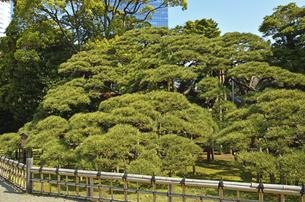 浜離宮恩賜庭園・三百年の松の写真素材 [FYI04765040]