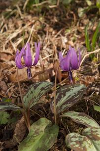 カタクリの花の写真素材 [FYI04765110]