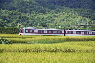 近畿日本鉄道 準急列車と秋の稲田の写真素材 [FYI04765306]