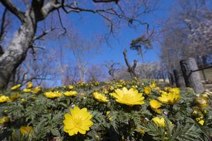フクジュソウの花の写真素材 [FYI04765416]