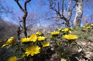 フクジュソウと梅の花の写真素材 [FYI04765417]