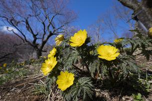 フクジュソウと梅の花の写真素材 [FYI04765419]