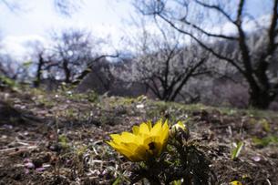 フクジュソウと梅の花の写真素材 [FYI04765424]