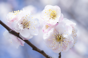 ピンクの梅の花の写真素材 [FYI04765430]