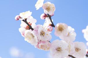 ピンクの梅の花の写真素材 [FYI04765431]