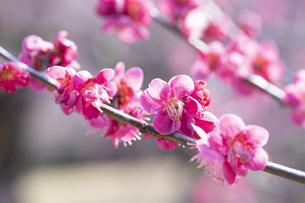 赤い梅の花の写真素材 [FYI04765433]
