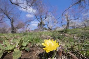 フクジュソウと梅の花の写真素材 [FYI04765436]
