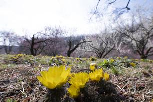 フクジュソウと梅の花の写真素材 [FYI04765437]