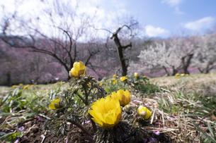 フクジュソウと梅の花の写真素材 [FYI04765438]