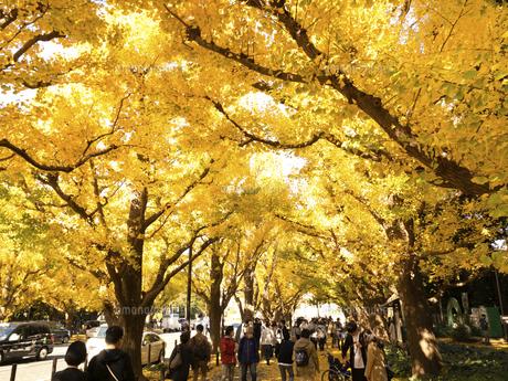 東京都 神宮外苑のイチョウ並木の写真素材 [FYI04765711]