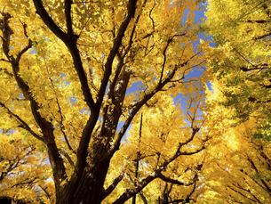 東京都 神宮外苑のイチョウ並木の写真素材 [FYI04765730]