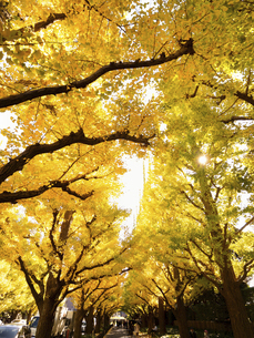 東京都 神宮外苑のイチョウ並木の写真素材 [FYI04765734]