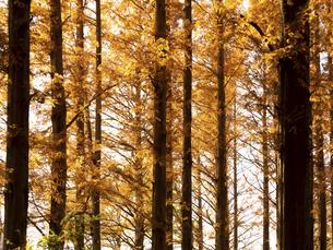 東京都 水元公園のメタセコイアの黄葉の写真素材 [FYI04765739]