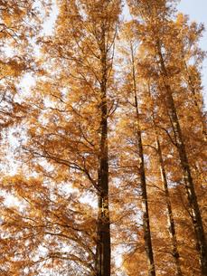 東京都 水元公園のメタセコイアの黄葉の写真素材 [FYI04765754]