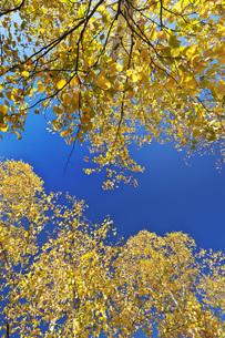 黄葉の写真素材 [FYI04765798]