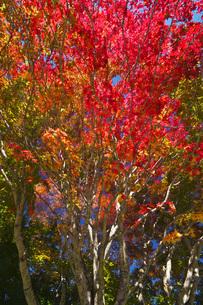 羊蹄山自然公園の紅葉の写真素材 [FYI04765801]