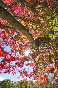羊蹄山自然公園の紅葉と太陽の写真素材 [FYI04765804]