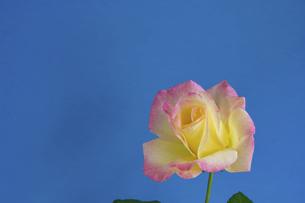 青背景の黄色いバラの写真素材 [FYI04766026]