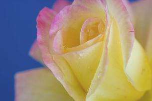 青背景の水滴が付いた黄色いばらの写真素材 [FYI04766027]