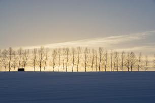 冬の夕暮れの丘のシラカバ並木の写真素材 [FYI04766029]