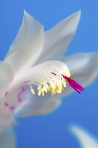 青背景の白いサボテンの花の写真素材 [FYI04766033]