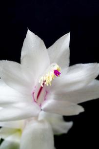 黒背景の白いサボテンの花の写真素材 [FYI04766036]
