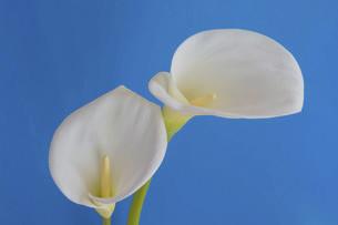 青背景の白いオランダカイウの写真素材 [FYI04766037]