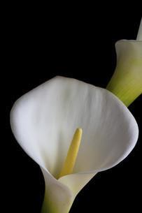 黒背景の白いオランダカイウの写真素材 [FYI04766038]