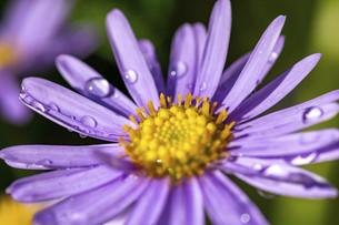 雨上がりの紫色の菊の花の写真素材 [FYI04766039]