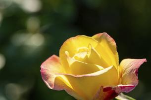 緑背景の黄色いバラの写真素材 [FYI04766041]