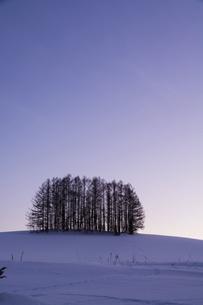 冬の夕暮れの丘のカラマツ林の写真素材 [FYI04766044]