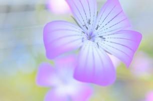 ピンク色の小さな花の写真素材 [FYI04766076]