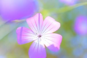 ピンク色の小さな花の写真素材 [FYI04766077]