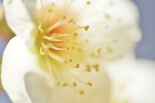 梅の花の写真素材 [FYI04766078]