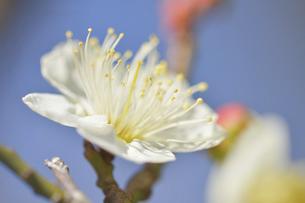 梅の花の写真素材 [FYI04766079]
