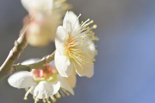 梅の花の写真素材 [FYI04766080]