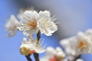 梅の花の写真素材 [FYI04766081]