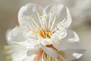 梅の花の写真素材 [FYI04766083]