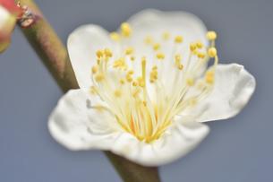 梅の花の写真素材 [FYI04766084]